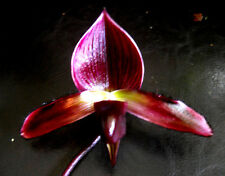 New listing Paph. Maudiae 'Vini Color', orchid plant in bloom