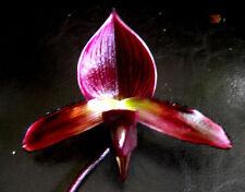 Paph Magic Cherry (Black Cherry x Voodoo Magic), orchid plant