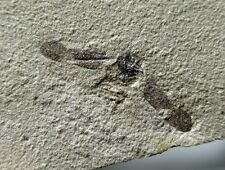 Interesting fossil flying insect on matrix, Green River fm, Rio Blanco, Colorado