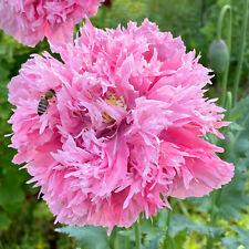 MOHN PFINGSTROSENMOHN 200 Samen Papaver paeoniflorum Puschelmohn in Pink