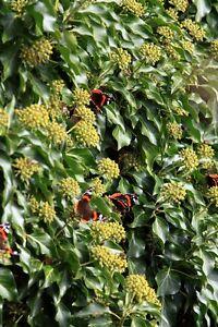blühender Efeu - lockt Schmetterlinge an darf in keinem Garten fehlen (Auktion)