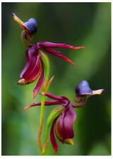 Flying Duck Orchid Seeds Plant Black Orchid Seeds Potted Flowers Seeds 100 Pcs