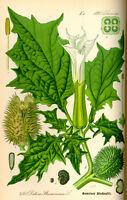 50 Samen Datura stramonium, Gemeiner Stechapfel - Hexenpflanze