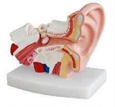Human Professional Desktop Ear Joint Simulation Model Anatomy PVC Plastic New