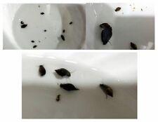 100+ Pond (Bladder/Tadpole) Snails