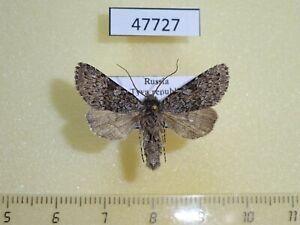 47727p Noctuidae Lasionycta leucocycla