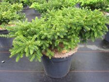 Taxus cuspidata Emerald Spreader - japanische Eibe Emerald Spreader