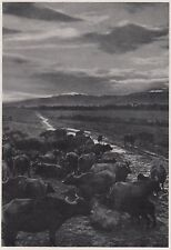 D3920 Caratteristico pascolo delle Bufale - Stampa d'epoca - 1939 old print