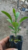 ORANGE  FRUIT TREE REAL LIVE PLANT size that is available 2'' TO 6''