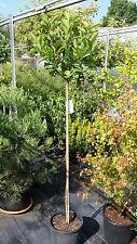 Magnolia soulangiana, Tulpenmagnolie, 200cm Hochstamm Solitär