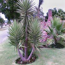SPANISH BAYONET SEEDS YUCCA ALOIFOLIA FLOWERING TREE 10 SEED PACK
