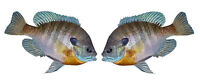 """Blue Gill Large Decal Sticker Right Left Face Boats Trucks Fishing Fish 6"""" x 9"""""""