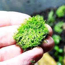 Riccia Fluitans Mini Tissue Culture B2G1 Live Aquarium Plants Shrimp Java Moss