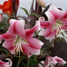 Skyscraper Lily Bulbs Flower Perennial Resistant Stargazer Exotic Plants Hot