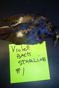Violet Backed Starling salted skin #1 for Taxidermy
