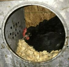 1 Dozen Fertile Black Copper Maran hatching eggs +2 Extra