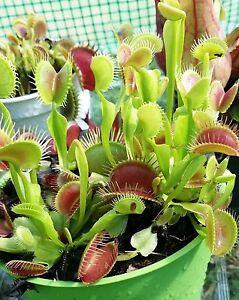 Venusfliegenfalle - ca. 30 Samen - Dionaea muscipula - fleischfressende Pflanze