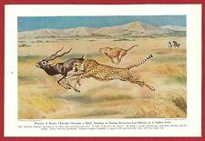 1943 Wild Cat Print Illustration ~ Cheetah by Walter Weber ~ Fleetest of Beasts