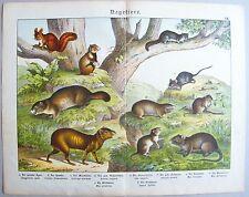 Chromo-Lithografie 1886: Nagetiere. Der gemeine Aguti. Der Hamster. Murmeltier.