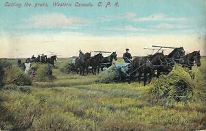 Cutting the Grain Western CANADA 1913 C.P.R. Illustrated Post card Co. Postcard