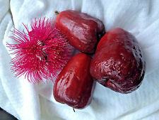10 live fresh cleaned seeds Mountain apple (Syzygium malaccense)