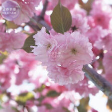Japanese Pink Cherry Blossom Sakura Tree 20 seeds Oriental Sweet Prunus Flowers