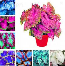 50 PCS Seeds Rare Colorful Caladium Bonsai Plants Rose Elephant Ear Flowers New