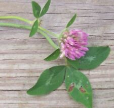 3 lbs RED CLOVER Seed Deer & Turkey Plot Seeds uncoated seeds No Till