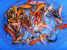 "60-Lot Assorted 2""-4"" Select Grade Mix fin Live Koi Fish for Pond Garden PKF"