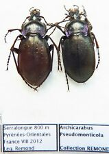 Carabus archicarabus pseudomonticola (pair A1) from FRANCE