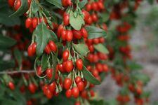 10 Goji Berry Lycium barbarum Live Unrooted Fresh Cutting, Healthy super fruit!