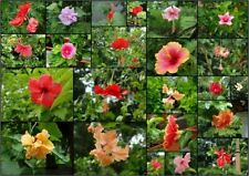 HIBISCUS MIXED COLORS AND FORMS, 20 seeds with FREE GIFT