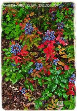 Mahonia aquifolium 'Oregon Grape' [Prov: UK] 45+ SEEDS