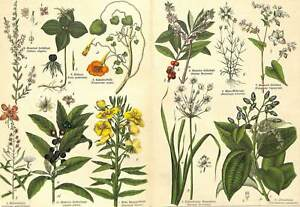 1878 BAY LAUREL HERB-PARIS SPURGE OLIVE PLANTS Antique FOLIO Print Schubert