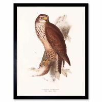 Painting Birds Gould Lear Common Buzzard 12X16 Inch Framed Art Print