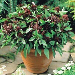 BASIL Thai Siam Queen 50 HEIRLOOM Seeds CULINARY herb garden HERBAL AROMATIC TEA