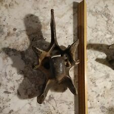 Prehistoric Bison Vertebrae Complete Fossil Fossilized Petrified Large