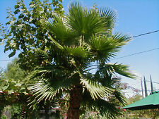 1-Two Year Old-Abt.2-3ft Tall-Mexican Fan Palm Tree (Washingtonia Robusta)-LIVE