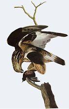Audubon Reproductions: Birds of America: Rough Legged Falcon - Fine Art Print