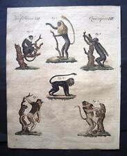 Orig. Kupferstich Bertuch  AFFEN - Arten , apes    +Textblatt (#O6#)