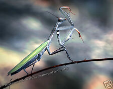 Photograph of a Praying Mantis Insect 11x14