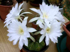 Easter Lily Cactus Seed Echinopsis subdenudata 30cm High Semi-arid living