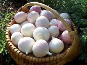 Seeds Giant Garlic Bulbils Lyubasha Winter(Not Cloves) Elephant Organic Ukraine