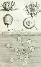 Nymphoea alba, Ninfea bianco Botanica Geoffroy Garsault Incisione XVIII