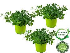 Kräuter-Set Jiaogulan - 3 Pflanzen Kraut der Unsterblichkeit, 1.Generation veget