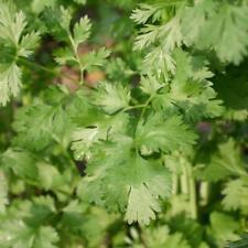 Bio-Saatgut 200 Samen Koriander Mediterran Küchen-, Gartenkräuter
