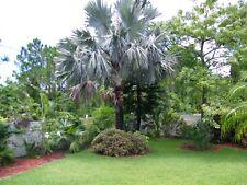 Bismark Palm Seeds Fresh 8/1/18 25 seeds