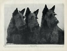 SCOTTISH TERRIER ORIGINAL OLD 1934 DOG PRINT THREE DOGS FROM THE ORTLEY KENNELS