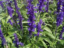 Salvia- Blue Sage- 200 Seeds - 50 % off sale