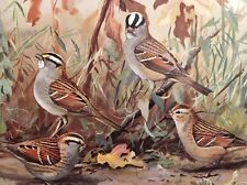 Color Bird Print Vintage 1929 White Throated Sparrow Crowned Ornithology Nature